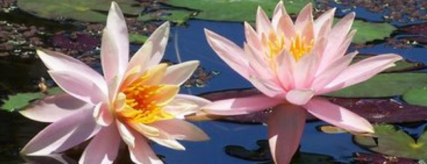 Palm City Florida Water Lilies at Pelican Cove.